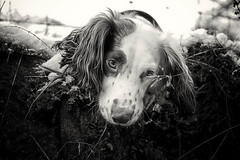 Happy Christmas Eve x (Missy Jussy) Tags: rupert rupertbear dog dogwalk dogportrait pet animal englishspringer springerspaniel spaniel mono monochrome blackwhite bw blackandwhite canon canon5dmarkll 50mm ef50mmf18ll ef50mm canon50mm fantastic50mm outdoor outside countryside bethanylane newhey snow drystonewalls fence littledoglaughednoiret