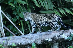 Jaguar...#2 (in the wild) (Guy Lichter Photography - 3.7M views Thank you) Tags: canon 5d3 costarica tortuguero wildlife animals mammal mammals jaguar tortugueronationalpark