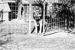 Oggi vi presento Kenia (andaradagio) Tags: andaradagio bianconero bw canon dog cane miglioramicodelluomo nadiadagaro rifugioohana bandaa4zampeumbria