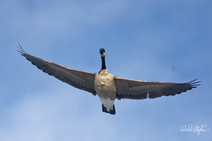 Keep Your Hat On (dcstep) Tags: dsc8621dxo goose one canadagoose flying flight bif birdinflight sonya7riii fe100400mmf4556gmoss fe14xteleconverter handheld cherrycreekstatepark colorado usa aurora allrightsreserved copyright2017davidcstephens dxophotolab