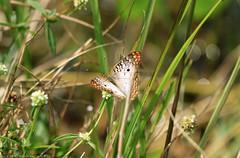 White peacock @ Everglades (Rick & Bart) Tags: evergladesnationalpark florida everglades park usa nature wetland airboat rickvink rickbart canon eos70d miamidade insect butterfly anartiajatrophae whitepeacock