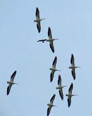 American White Pelicans (baypeep) Tags: bird pelican
