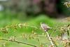 2017 Chipping Sparrow 2 (DrLensCap) Tags: chipping sparrow temecula california ca bird robert kramer