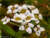 361 365 2017 Alyssum (friiskiwi) Tags: macroflowers