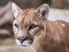 Joseph is The One Who Watches (montusurf) Tags: face puma mountain lion cougar cat feline predator watch cincinnati zoo ohio nky zoosofnorthamerica