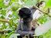 Singe araignée (Spider Monkey) - Atèle (Charlotte-Debras) Tags: monkey singe araignée jungle amazonie amazonian rainforest