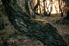Goldlicht (glasseyes view) Tags: glasseyesview struffelt eifel herbstbild autumnal
