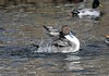 Pintail duck flapping its wings and splashing water (adirondack_native) Tags: duck pintail wings splashing flapping