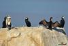 A-LUR_3250 (OrNeSsInA) Tags: trasimeno umbria perugia byrdaironi cormorani nature cenerino