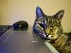 (turgidson) Tags: p1210060 panasonic lumix dmc g7 panasoniclumixdmcg7 panasonicg7 micro four thirds microfourthirds m43 g lumixg mirrorless leica dg summilux leicadgsummilux 15mm f17 asph prime lens primelens 15mmf17 panasonicleica15mmf17asph hx015 silkypix developer studio pro 7 silkypixdeveloperstudiopro7 raw tinker cat pet animal one eye oneeye permawink bray wicklow ireland gato laptop computer samsung mouse