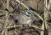 IMG_0384b (Naturecamhd) Tags: canonpowershotsx60hs sx60hs newyorkbotanicalgarden nybg bluejay bronx thebronx birding nature wildlife twinlakes winter