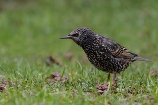 European (Common) Starling  -  Star