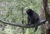 Black Bear (james white Photo) Tags: blackbear branch tree bear wildlife nature animal minnesota