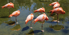 No queremos ninguna foto!  -   We don't want no photos! (Carlos J. M.) Tags: temaiken buenosaires argentina canon dslr 5dmk3 flamencos flamingos