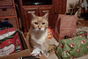 Cats spread Christmas Cheer 12-24-17 04 (anothertom) Tags: cats ziggycat christmaseve livingroom gifts funnycat badattitude funnyface grumpy 2017 sonyrx100v badmood