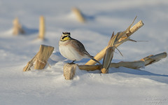 Horned lark (salmoteb@rogers.com) Tags: bird wild outdoor horned lark wildlife snow perch