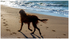 """""""Vers la lumière"""" (Stéphanie Deniaux - Photos) Tags: bretagne breizh bzh laturballe chien dog animal setter setterirlandais animauxdecompagnie loireatlantique paysdeloire france canon canonfrance"""
