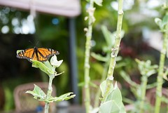 Transformation (ericpabalinas) Tags: transformation new insects garden leaf lamp cocoon caterpillar butterfly monarch monarchbutterfly stripes black green yellow orange