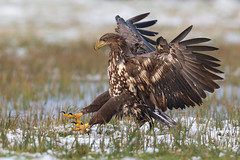 White-tailed Eagle Landing (Mr F1) Tags: wild whitetailedeagle wte raptor bif birdsinflight nature johnfanning woodland outdoors detail feathers poland europe wings talons yellow forest snow ice cold dull light approach landing