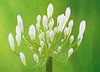 Agapanthus Storm Cloud (Sandyp.com) Tags: agapanthusstormcloud flower sonyalpha sonya7rii greenbackground topazsoftware