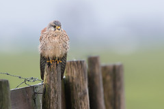 R17_4470 (ronald groenendijk) Tags: cronaldgroenendijk 2017 falcotinnunculus rgflickrrg animal bird birds birdsofprey groenendijk holland kestrel nature natuur natuurfotografie netherlands outdoor ronaldgroenendijk roofvogels torenvalk vogel vogels wildlife