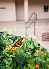 Metro Butterfly (ep_jhu) Tags: wmata x100f monarch washington metro butterfly nature fuji pennquarter insect dc fujifilm mariposa districtofcolumbia unitedstates us
