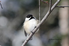 Black-capped Chickadee (Poecile atricapillus) (Gerald (Wayne) Prout) Tags: blackcappedchickadee poecileatricapillus animalia aves chordata passeriformes paridae poecile atricapillus herseylakeconservationarea cityoftimmins northernontario northeastern ontario canada prout geraldwayneprout canon canoneos60d eos 60d digital camera photographed photography blackcapped chickadee birds animals wildlife nature conservation conservationarea area herseylake hersey lake timmins city northern trails walking birding