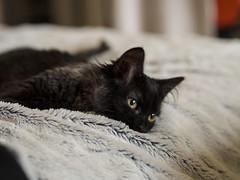 Mona (lauriepetsitterparis) Tags: catsitter cat chatte minette mignon mona chaton chatonne magnifique chat cute adorable animal petsitter minou miaou black smock domestique
