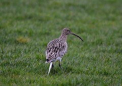 Curlew (jimbrownrosyth) Tags:
