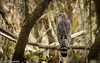 In the Woods - HWW (11Jewels) Tags: canon 70300 redshoulderhawk myakkariverstatepark floridastateparks sarasotafl wingwednesday