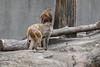 P1000414lr (yoshitoshi ABe) Tags: 20171128 panasonic lumixtx1 吉祥寺 井の頭自然文化園 サル
