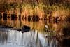 Camargue Afternoon (NathalieSt) Tags: camargue europe france gard languedocroussillon automne autumn feuille feuilles leaf leaves nature nikon nikond750 nikonpassion nikonphotography bird oiseau