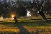 Olive Trees, San Egidio di Monampolo (Wolfgang.Grilz) Tags: monsampolodeltronto monsampolo ascoli marche piceno landscape olivetree winter paesaggi