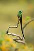 Long Tailed Sylph (Aglaiocercus kingi) perched on a branch (Chris Jimenez Nature Photo) Tags: longtailedsylph tours birding aglaiocercuskingi colibri photography colibrie nature zumbadores birds cometaverdiazul wildlife colombia manizales chrisjimenez hummingbirds