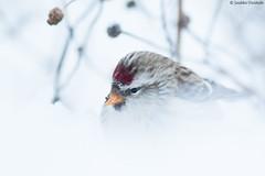 A snowy redpoll (uusija) Tags: carduelisflammea commonredpoll bird linnut luonto nature urpiainen