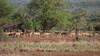Impalas à l'écoute (claudealain_nacht) Tags: impala gazelle troupeau
