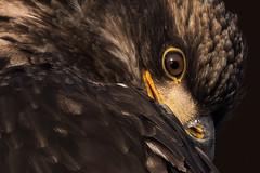 Coy (Melanie Leeson) Tags: birdsofcanada nikon nikond500 birds haliaeetusleucocephalus perched blingsister birdsofnorthamerica birdsofbritishcolumbia melanieleesonwildlifephotography 17x behaviours baldeagles raptors immature nikkor200500mm wild eagle dlsr