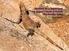 002/365 -Daily Haiku: Chuckwalla (James Milstid) Tags: haiku lizard chuckwalla jemhaiku haiga poetry