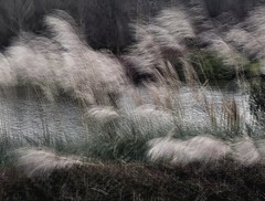 Pampas grass Blowing in a Breeze (Bill Eiffert) Tags: movement blur wind pampas grass park plants bush shrub feathers