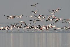 Lesser Flamingos, Indian Wild Ass Sanctuary, Little Rann of Kutch, Gujarat (Janaswamy) Tags: lesser flamingos takeoff
