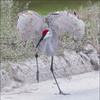Sandhill Crane ( Next To Last )( Explored 1-5-2018 ) (billkominsky ) Tags: naturethroughthelens