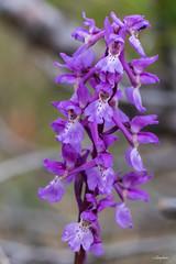Sankt pers nycklar (jungfrulin) Tags: blommor orkideer flower wild nycklar macro gotland sweden sverige sanktpersnycklar orchid orchide´ orchidemasculata