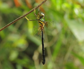 Dancing Shadow-emerald (Idionyx victor) Female