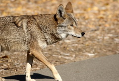 Fearless (C-O) Tags: jan 05corr029 2018 arboretum coyote fearless animal walking nature arcadia ca