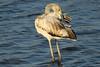 Flamingo - Phoenicopterus roseus - Greater Flamingo (merijnloeve) Tags: portugal algarve flamingo phoenicopterus roseus greater mexilhoeira grande pt faro