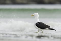 A gull  moment - Kelp Gull (Chantal Jacques Photography) Tags: dullmoment gullmoment kelpgull falklandislands wildandfree bokeh depthoffield