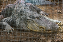 Photo of Missippippi Alligator
