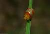 Paropsisterna sp. (dustaway) Tags: arthropoda insecta coleoptera chrysomelidae paropsisterna leafbeetle australianinsects australianbeetles clagirabaforestreserve clagiraba coomeravalley sequeensland queensland australia