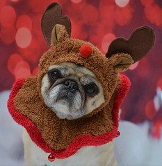 Santa's Secret Weapon (DaPuglet) Tags: pug pugs dog dogs animal animals pet pets reindeer rudolph santa christmas holiday costume winter december seasonsgreetings happynewyear holidays alittlebeauty coth clydesfriends coth5 fantasticnature