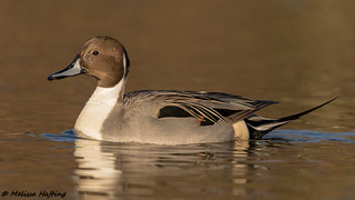 Male Northern Pintail (Anas acuta) - Burnaby, BC